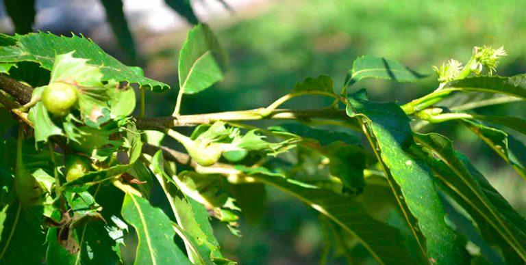 Chestnut study and documentation Centre – Marradi (Fi)