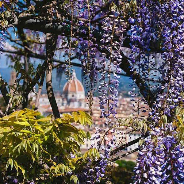 Villa Bardini e il glicine